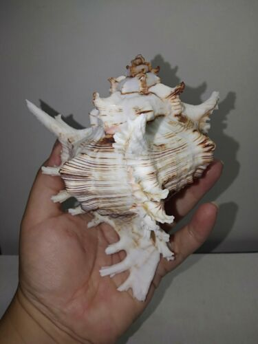 "Murex ramosus seashell 5.4"". Hamptons beach gift collectors decor #1"