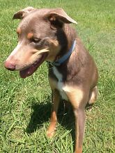Looking for a foster home for my dog Coomera Gold Coast North Preview