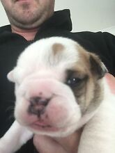 British bulldog pups bbd English puppies male female Camden Park Wollondilly Area Preview