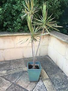 Dracaene In beautiful pot Eden Hills Mitcham Area Preview