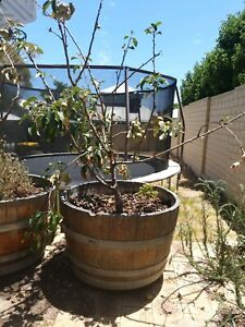 Apple trees for sale $100 for both!!