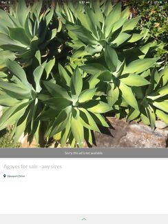 Agaves for sale