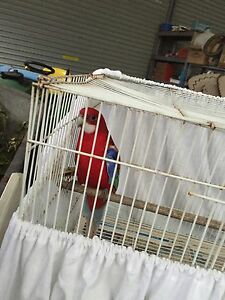 Red rosella male hand raised Medowie Port Stephens Area Preview