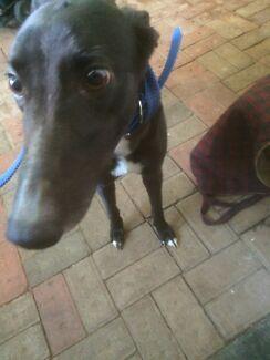 Greyhound free to good home  Kurunjang Melton Area Preview