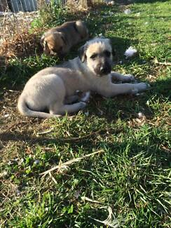 WOLFHOUND X PUPS FOR SALE Turvey Park Wagga Wagga City Preview