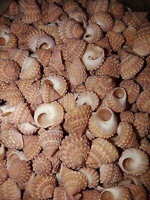 100g trochus echinella Sea shells. Beach home gifts art jewel craft