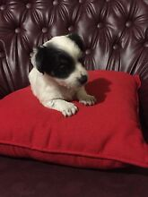 Maltese x fox terrier pups for sale DONT MISS OUT Campbelltown Campbelltown Area Preview