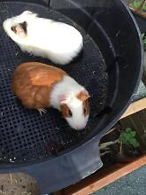 Breeding pair of Guinea pig West Ryde Ryde Area Preview