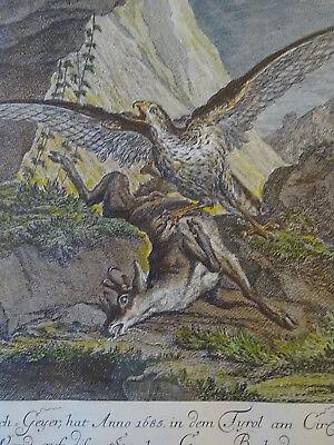 Kupferstich alt colloriert Stich von Johan E. Ridinger (1698-1764) Adler