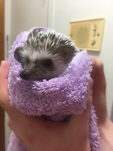 Young male hedgehogs