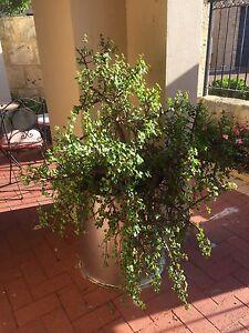 Plants Beaconsfield Fremantle Area Preview