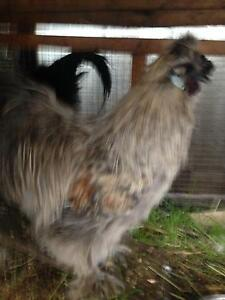Beautiful silkie rooster Glenroy Moreland Area Preview