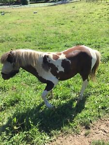 Miniature pony stud fees for the spring of 2019