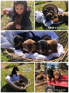dachshund | Dogs & Puppies | Gumtree Australia Free Local