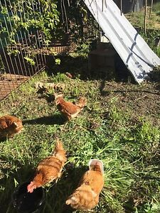 Isa brown laying hens Perth Perth City Area Preview