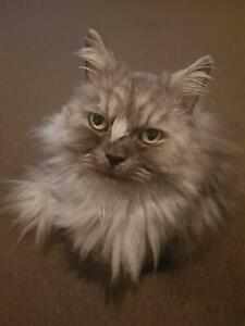 8yr old desexed male Persian x - Free to good home