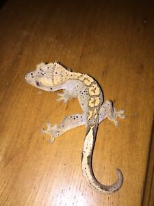2 crested geckos + tank and accessories