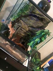 Whites dumpy tree frog with terrarium and accessories