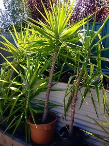 Yucca Plants (smaller/cheaper available also) Gilmore Tuggeranong Preview