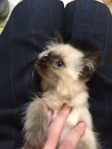 Purebred Himalayan Kitten | Female | Seal point | 11 weeks