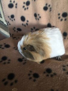 Guineas pigs available