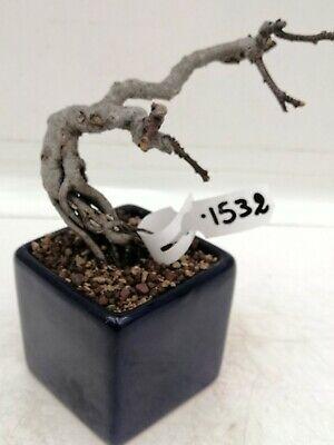 Bonsai shohin di Fico h. 18 cm Visita il mio negozio!
