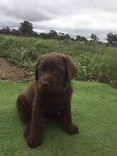 Labrador Pup for Sale. First time offered. West Perth Perth City Preview