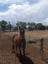 Adult riding or Pony club, 16hh STB Gelding Wokalup Harvey Area Preview