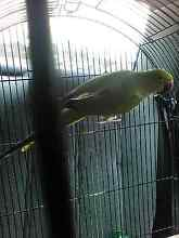 Olive female ringneck Wanneroo Wanneroo Area Preview