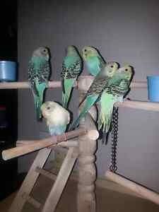 Rainbow hand tame budgies Andrews Farm Playford Area Preview