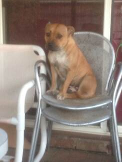 4 year old female staffy Tewantin Noosa Area Preview
