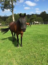 Horse part lease Fletcher Newcastle Area Preview