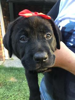 Labrador puppies  Pedigree Black English Labrador