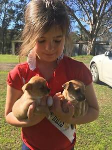 Chihuahua Puppies Ebenezer Hawkesbury Area Preview