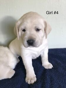 "White ""polar bear"" English Labs"