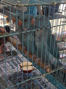 Baby blue Indian ringnecks Ipswich Ipswich City Preview