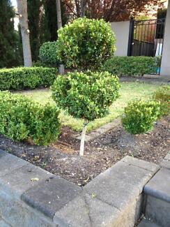 INSTANT GARDEN!! English box hedge & topiary + spiral Spartans Greenwith Tea Tree Gully Area Preview