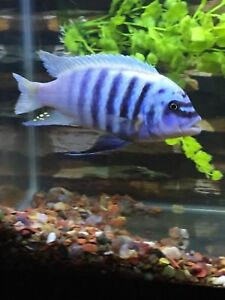 Cichlid for sale