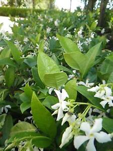 Chinese Star Jasmine grower direct perth shrub tree Darch Wanneroo Area Preview