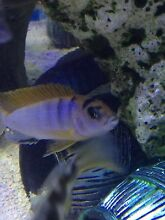 Hongi Cichlid for sale Liverpool Liverpool Area Preview