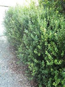 African Box grower direct plants for perth shrub