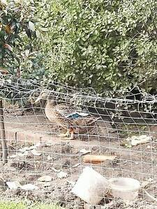 2 egg laying ducks for sale Mount Waverley Monash Area Preview