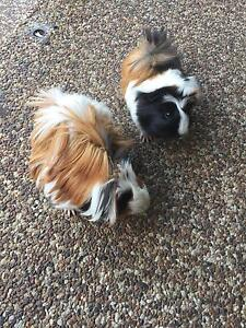 (SOLD) 2 baby guinea pigs $25 each Abbotsbury Fairfield Area Preview