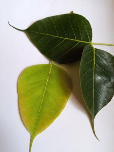 Sri Lankan  Peepal Leaves 30 ct Fresh picked by order banyan tree leaf pooja