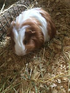 Guinea Pigs For Sale Wandin North Yarra Ranges Preview