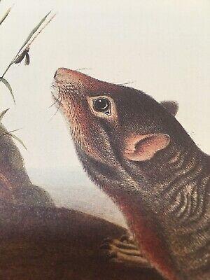 Audubon Animal Print Poster Large Tailed (Large Animal Prints)