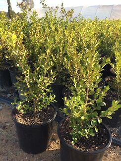 Japanese buxus ,viburnum, Photinia red robin , snow maiden 200 mm pot