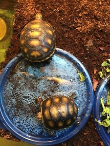 Redfoot tortoise hatchlings