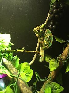 3 year old male chameleon