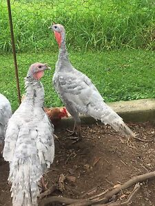 Turkeys Johns River Greater Taree Area Preview